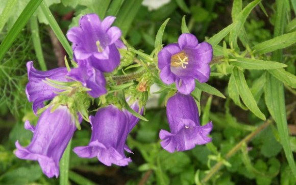 Bellflower-Plant